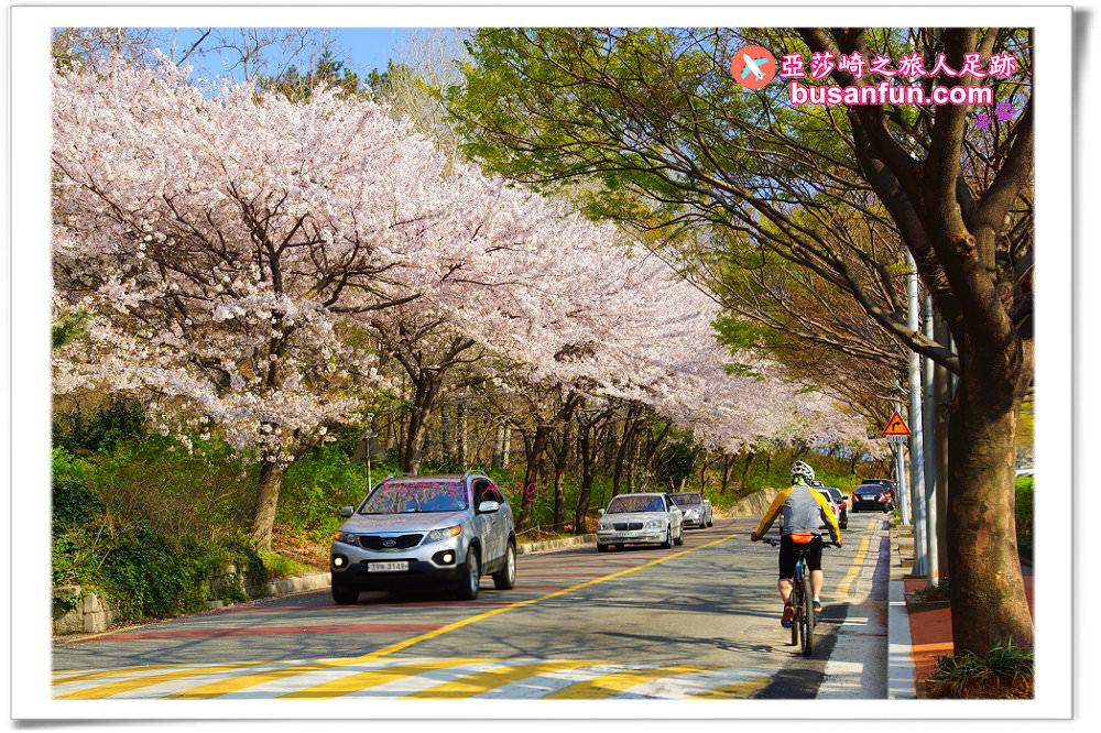 釜山櫻花油菜花景點》春季慶典整理篇|釜山就該這樣慢慢玩