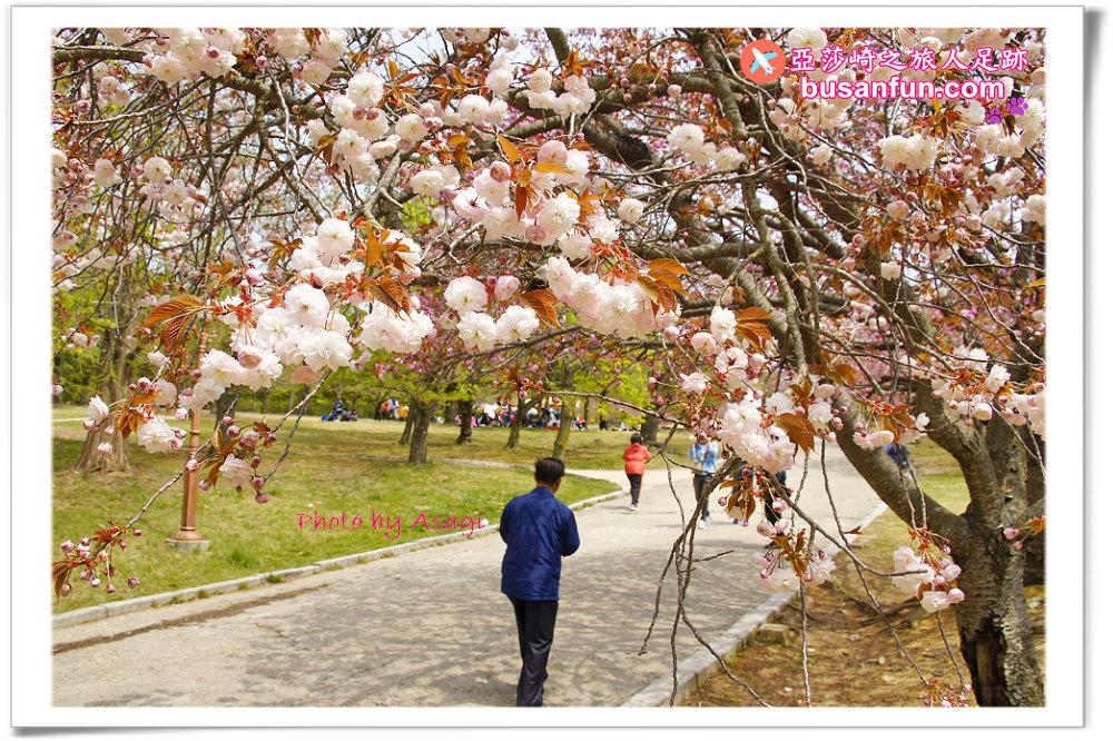 慶州佛國寺春天櫻花的尾巴|八重櫻正盛開中賞櫻趁現在|亞莎崎的경주足跡