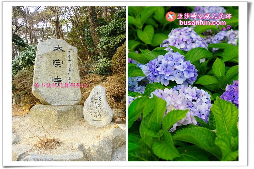 釜山慶典|2019太宗台繡球花節欣賞比人還高的粉色繡球花|交通指引