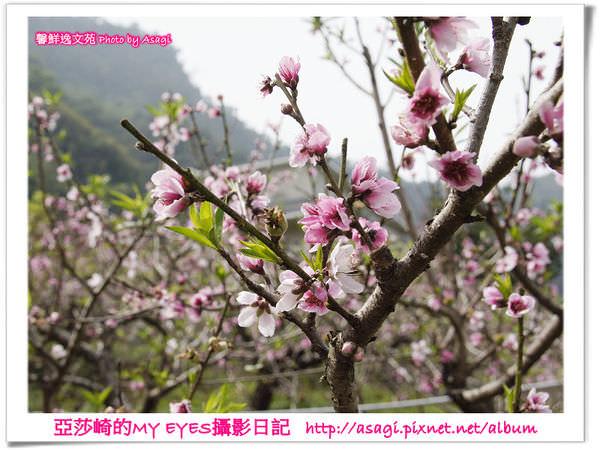 新社美林桃花開滿樹|亞莎崎2013中台灣追花記事簿